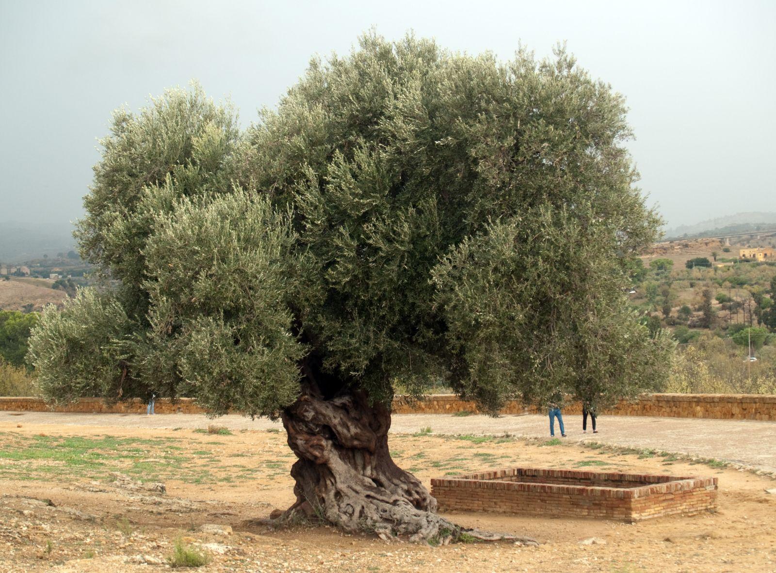 Taille D Un Olivier Comment Faire l'olivier